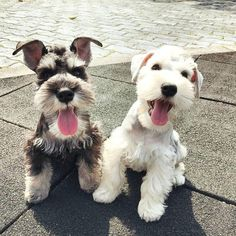 Schnauzer pals | cute puppies and dog training advice by @KaufmannsPuppy