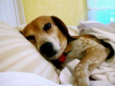 Beagles And Why They Are Perfect