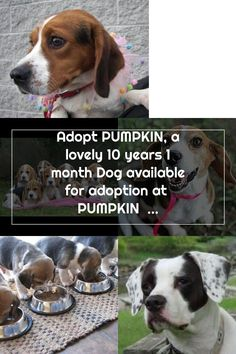 Adopt PUMPKIN, a lovely 10 years 1 month Dog available for adoption at  PUMPKIN is a Beagle / Mix and is available at the Pet Adoption League in YUKON, PA Adoptable Beagle, Beagle Mix, 1 Month, 10 Years, Pet Adoption, Pumpkin, Dog, Pets, Diy Dog