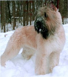 Bouvier- powerfully built compact rough coated dog of rugged appearance. It gives the impression of size and strength without clumsiness or heaviness. Perhaps its most notable feature is the impressive head which is accentuated by a heavy beard and mustache.