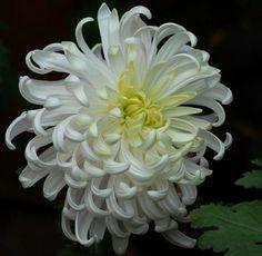 Chrysanthemum — but in pink