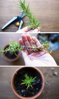 Want to grow plants for free? Grow a garden of rosemary and other plants for free using this method. It's easy!