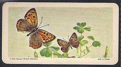 Brooke bond usa-butterflies of #north #america-#29- #american copper,  View more on the LINK: http://www.zeppy.io/product/gb/2/322212264892/
