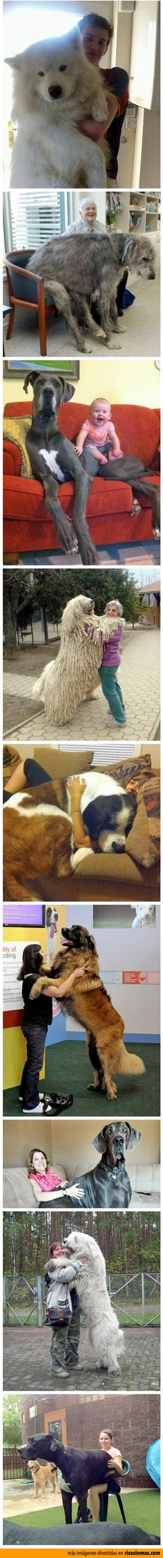 Perros gigantes.