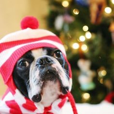 Twas the Night before Christmas is rewritten with our Boston Terriers, Bean and Yoda on our Christmas post. Christmas Post, The Night Before Christmas, Holiday Photos, Holiday Fun, Twas The Night, Cool Pets, Dog Walking, Dog Friends, Playing Dress Up