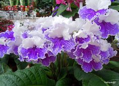 Closer look at a Streptocarpus....