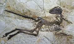 Zhenyuanlong suni: biggest ever winged dinosaur is found in China | Science | The Guardian