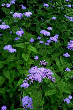 Mistflower Conoclinum coelestinum, butterfly attractor