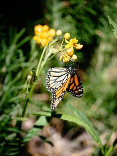 Learn why milkweed is so important to the survival of the monarch butterfly. Slugs In Garden, Garden Insects, Garden Pests, Butterfly Weed, Monarch Butterfly, Butterflies, Milkweed Plant, Hummingbird Flowers, Seeds For Sale