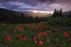 indian paintbrush, breckenridge, colorado, co, white river national forest, wildflowers,  wild flowers, sunset, sun, mou, photo