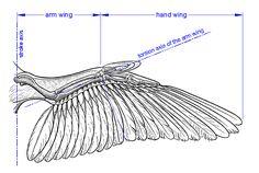 bird wings anatomy - 949×534