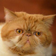 Exotic shorthair Garfield is very concerned!