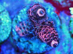 #coral #reef #tank www.fragcave.com/ Coral Frags, Sps Coral, Reef Tanks, Glass Aquarium, Saltwater Tank, Corals, Aquariums, Amphibians, Fish