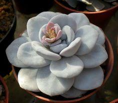 Echeveria lauii from Cecicactus
