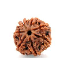 This seven Mukhi Rudraksha is believed to be the symbol of Goddess Lakshmi, the goddess of wealth and its ruling planet is said to be Saturn. The person who wears this Rudraksha is bestowed with wealth and prosperity and is also protected against the negative effects of Saturn.