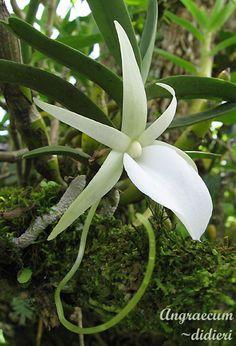 Most beautiful orchids: Angraecum didieri