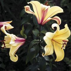 Orania - Butterscotch With A Raspberry Swirl, Strong Statuesque Appearance. Bulb Flowers, Love Flowers, My Flower, Summer Bulbs, Spring Bulbs, Lilium Martagon, Oriental Lily, Calla Lillies, Gladiolus