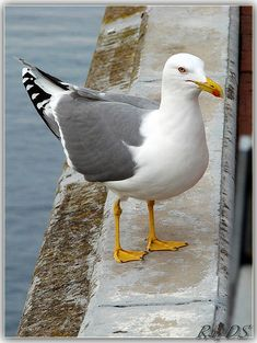 Seagull | Flickr - Photo Sharing!