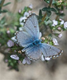 'Pseudophilotes panoptes' {Panoptes blue butterfly} by Pablo MDS (BlezSP) - male upperside Butterfly Kisses, Butterfly Flowers, Blue Butterfly, Flying Flowers, Butterfly Pictures, Butterfly Wall, Butterfly Wings, Beautiful Bugs, Beautiful Butterflies