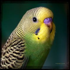 had one of these named Billy. Mom taught him to talk. We even had a record you played to teach the bird to talk. That bird always scared me! Hated him flying around. Budgie Parakeet, Cockatiel, Budgies, Cute Birds, Pretty Birds, Beautiful Birds, Parakeet Talking, Animals And Pets, Cutest Animals