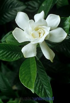 Gardenia by David Sieren (OK, I know there's another gardenia...but that makes the scent even sweeter)