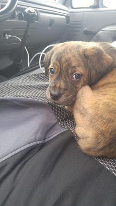 Meet Tater, the awesomely adorable seven-week-old Catahoula Leopard / Tibetan Mastiff mix rescue puppy. He will become a big boy...