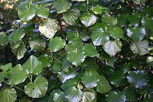 Kawakawa Macropiper excelsum - Wikipedia, the free encyclopedia