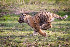 Jeune tigre de Sibérie
