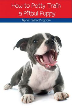 Need to know how to potty train a pitbull puppy? Don't worry, it's actually a lot easier than you might think! Read on to learn more! Alpha Dog Training, Puppy Potty Training Tips, Pitbull Training, Dog Training Classes, Training Your Puppy, Pit Puppies, Dog Behavior, Pitbulls, It's Easy