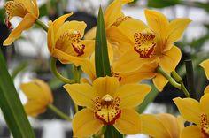 Cymbidium iridiordes | Cymbidium Orchids Only + Join Group