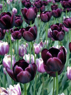 Donker paarse tulpen.