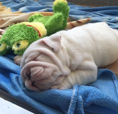 Sweet sleeping #Bulldog