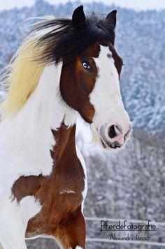 tri colored paint horse