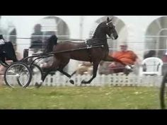 ▶ High stepping Hackney ponies - YouTube