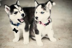 baby siberian huskies!