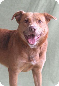 Greensboro, NC - Labrador Retriever Mix. Meet George, a dog for adoption. http://www.adoptapet.com/pet/11418874-greensboro-north-carolina-labrador-retriever-mix