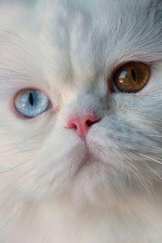 White cat ~ 1 blue eye, 1 gold eye