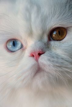 White cat ~ 1 blue eye, 1 gold eye