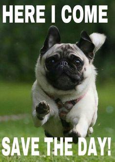 Super Pug To The Rescue!