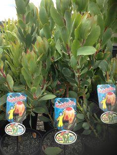 """Proteaceae Protea Grandicolor PBR 200mm pot 10""""inch pot"""