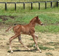 pinterest.com/gaitedmorgans 22 June 2016 gaitedmorgans.com Jellico Naturally Gaited Morgans 502 647 1572 gaitedmorgans@jellicofarms.com Jellico Liberty 7 day old stud colt by Westwind Joaquin out of Jellico Bliss.