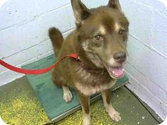 Pictures of SUPA a Husky/Akita Mix for adoption in Atlanta, GA who needs a…