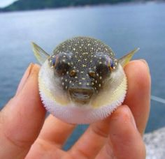 cute tiny pufferfish