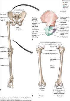 pelvic and thigh bones