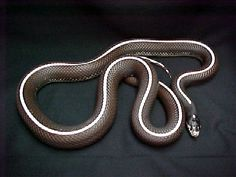 chocolate striped king snake - Google Search