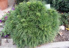 Pinus mugo 'Varella' -