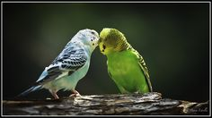 awwww  Nick's parakeets Bud & Puff (yes ,really) do this all day.  Sweet birds.