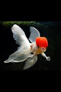 Red Cap goldfish  Via Animals World, Nature & Quotes -fb