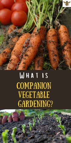 What is companion vegetable gardening? What will it do for you and your garden? Well, let me tell you, companion gardening is your key to organic gardening! Grow more vegetables with less bugs with compantion planting! #companionplanting #whatiscompanionplanting? Planting Vegetables, Fresh Fruits And Vegetables, Vegetable Gardening, Growing Vegetables, Organic Gardening, Gardening Hacks, Gardening For Beginners, Amazing Gardens, Beautiful Gardens