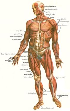 There are over 600 skeletal muscles in the human body. The most powerful muscles in the body are those that run along the spine. They maintain posture and provide the strength for lifting and pushing. Human Body Muscles, Human Muscle Anatomy, Human Skeleton Anatomy, Human Anatomy And Physiology, Major Muscles, Anatomy Study, Anatomy Art, Anatomy Reference, Anatomy Drawing